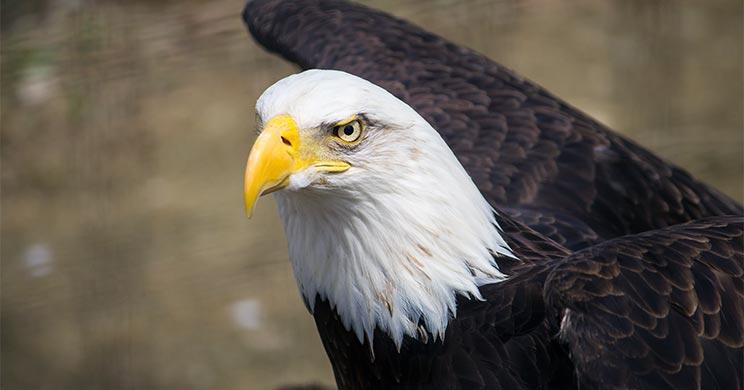 Eagle Feathers in Native American Culture | St  Joseph's